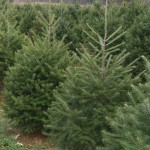 Delaware-grown Christmas trees