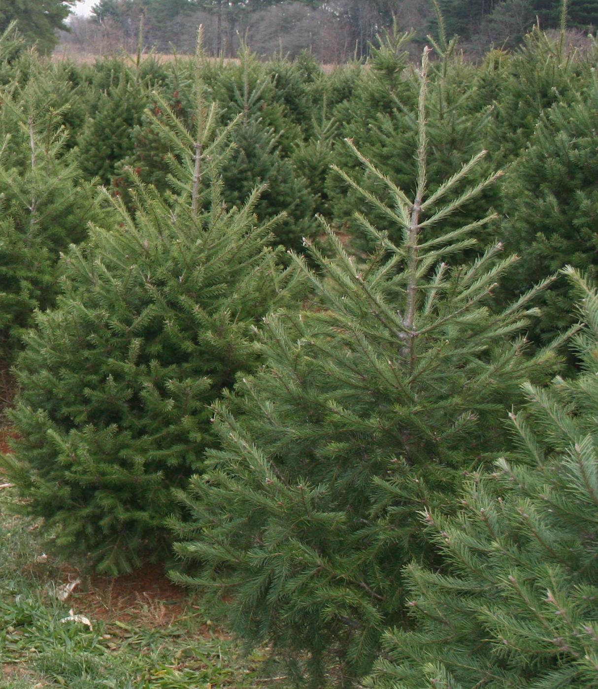 Delaware-grown Christmas trees