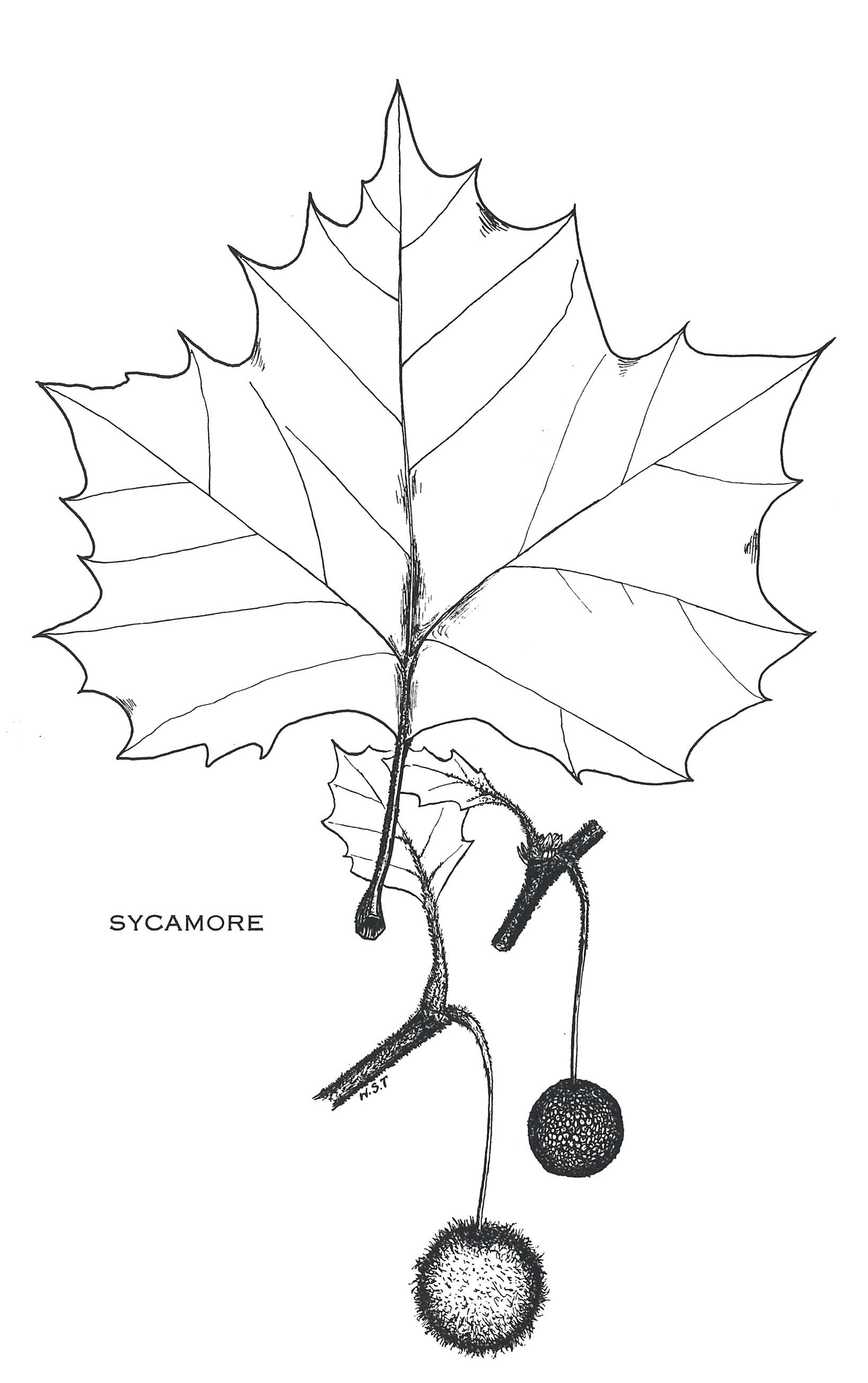sycamore dating Welcome to sycamore arabians  sycamore was once a plantation with land grants dating back to 1694 we purchased sycamore 25 years ago and at the time the land was .