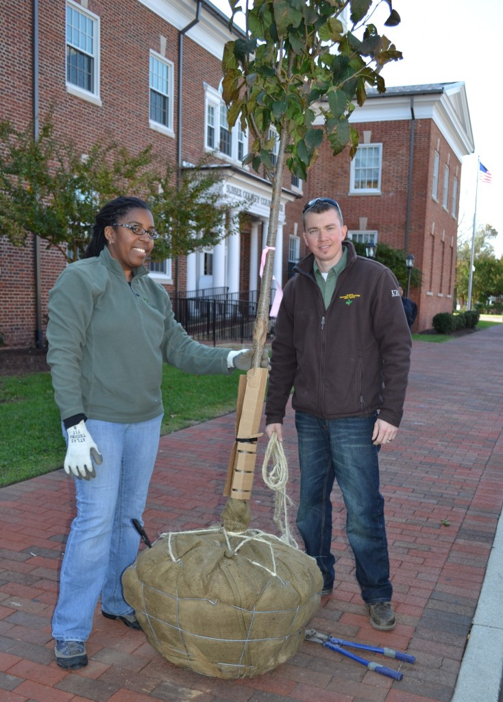 From left, Kesha Braunskill and Kyle Hoyd of the Delaware Forest Service's urban and community forestry program, inspect a new lilac tree planted outside the Sussex County Courthouse on Georgetown's East Market Street. The $37,000 streetscape improvement project was a cooperative effort between town officials and forestry staff that will enhance and beautify the downtown area.