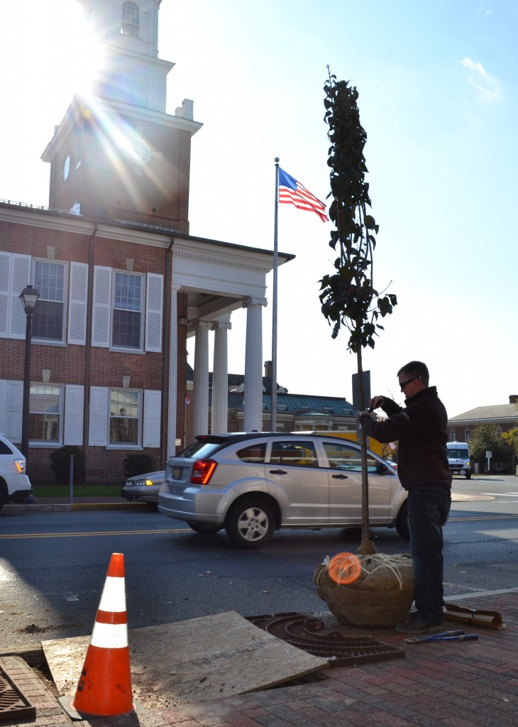 Across from Georgetown's Sussex County Courthouse building, Kyle Hoyd of the Delaware Forest Service prepares a new lilac tree for planting as part of a $37,000 streetscape improvement project made possible by an urban and community forestry grant.