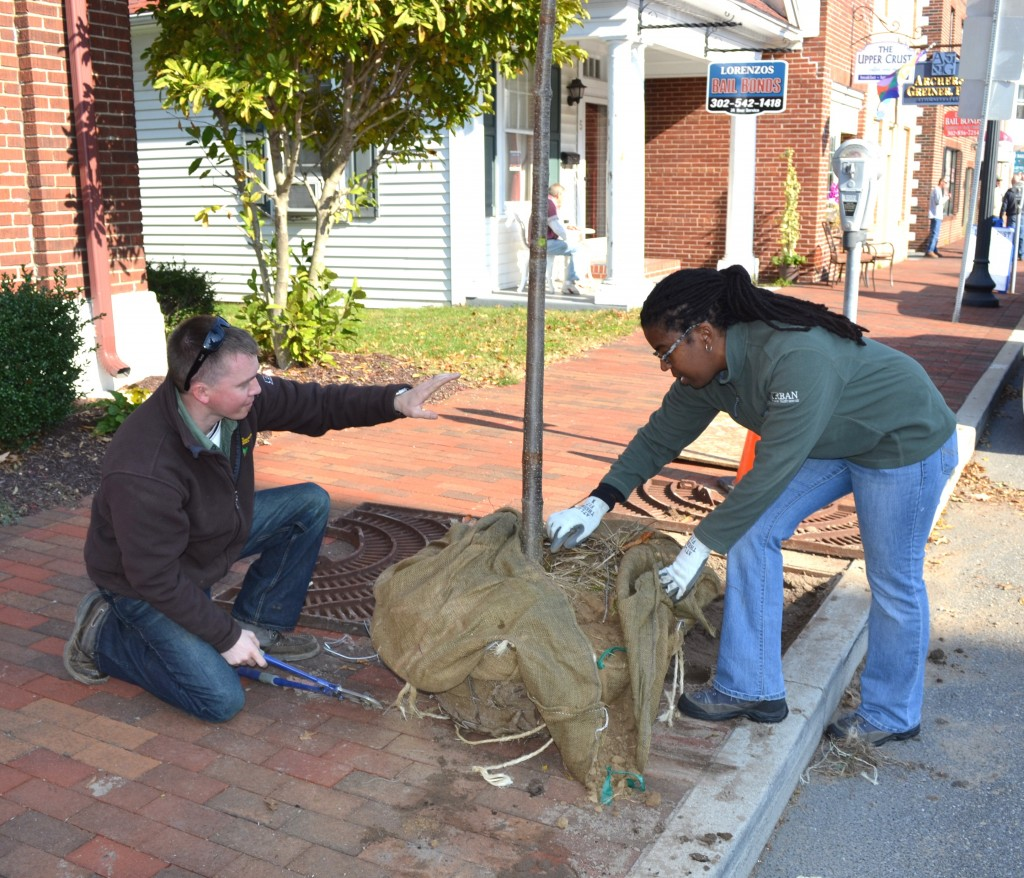 From left, Kyle Hoyd and Kesha Braunskill of the Delaware Forest Service's urban and community forestry program carefully remove the wire surrounding a new lilac tree planted as part of the downtown streetscape improvement project for Georgetown's East Market Street area.