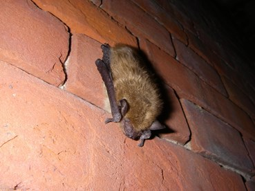 Big brown bat hibernating at Fort Delaware/DNREC photo