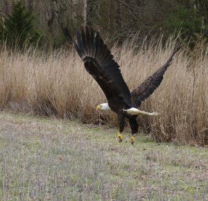 Bald Eagle released
