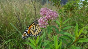 A monarch butterfly perches on native plantings at the Kalmar Nyckel site.