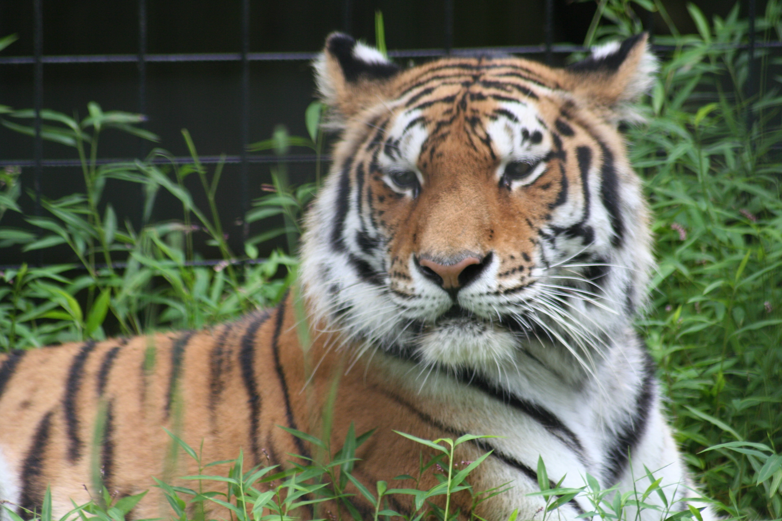 Brandywine Zoo's tiger to be transferred to Bronx Zoo