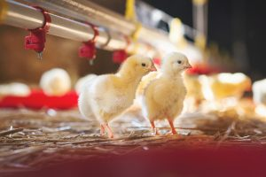 Image of baby chicks