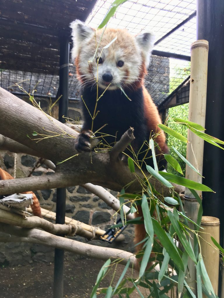Mohu, a female Red Panda