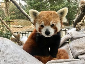 Sherman, a male Red Panda