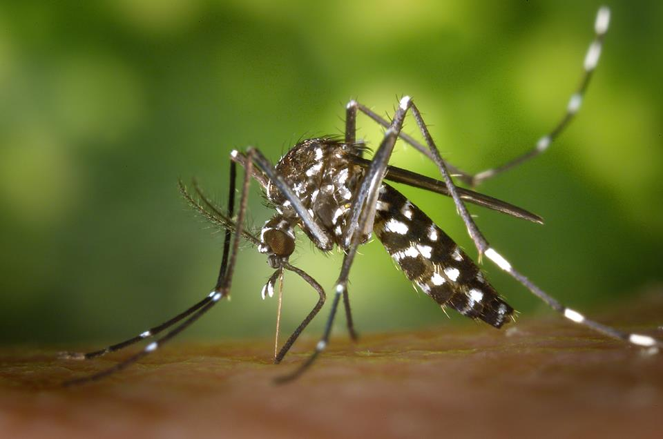 Photo of a mosquito - Photo by Jared Belson