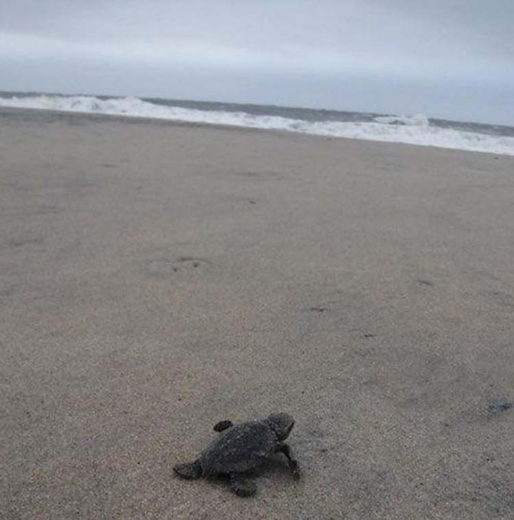 A loggerhead hatchling begins its life at sea from Delaware's shore