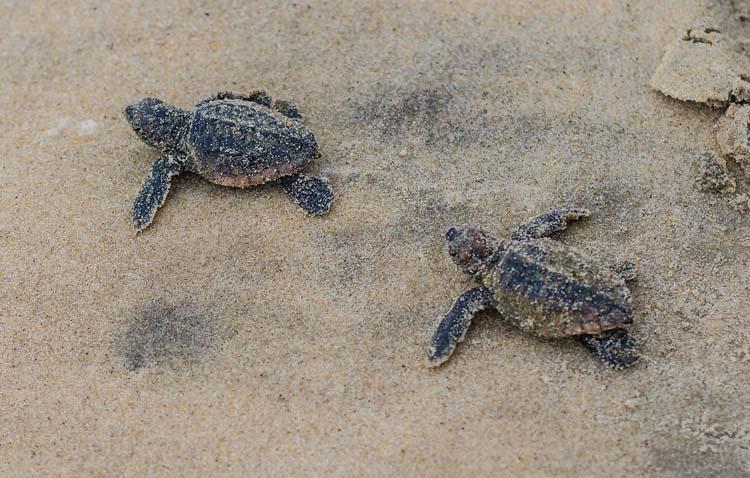 Hatchling Loggerhead Turtles