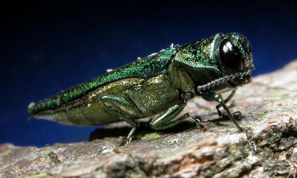 Photo of the Emerald ash borer