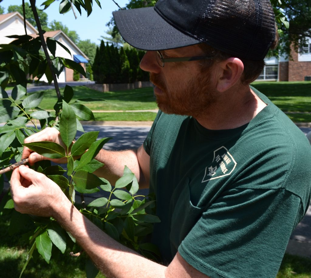 Delaware forest health specialist Bill Seybold inspects an ash tree in Wilmington.