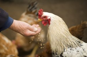 Photo of person's hand feeding chicken