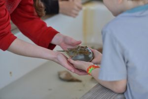 Peace, Love, Horseshoe Crabs