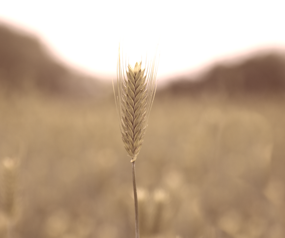 head of barley
