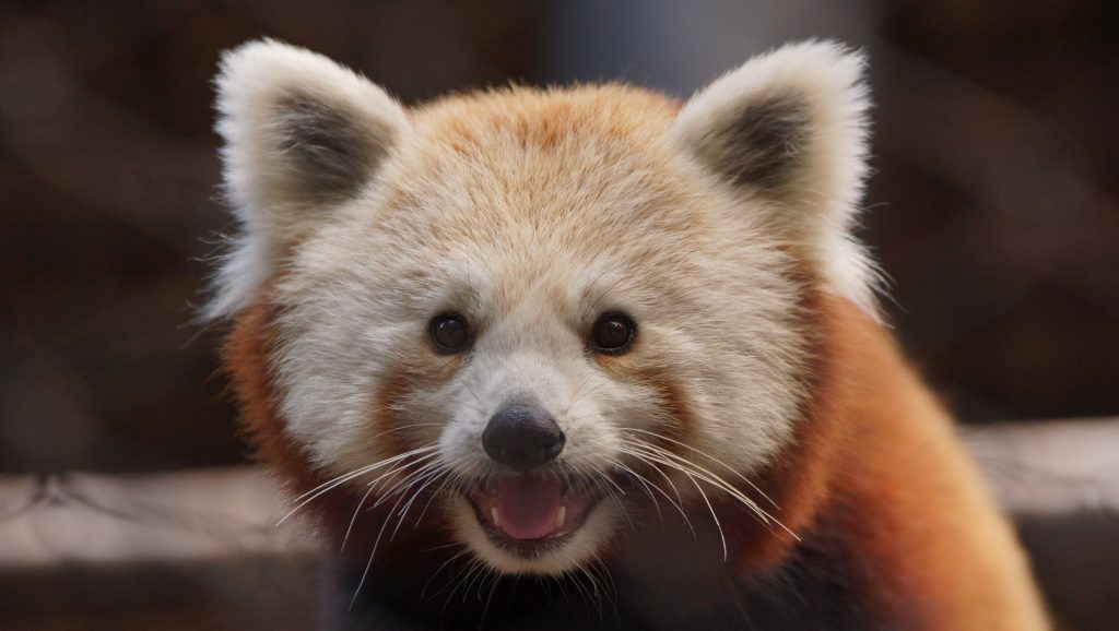 red-panda-RESIZE-1024x578 NEWS and EVENTS FROM DELAWARE SEASHORE STATE PARK Winter 2020 (scroll down for details) - Rehoboth Beach Resort Area