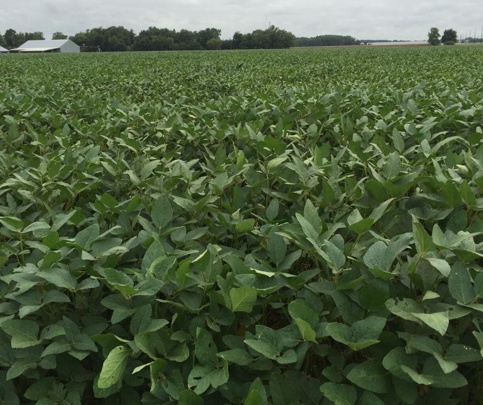 green soybean field mid season