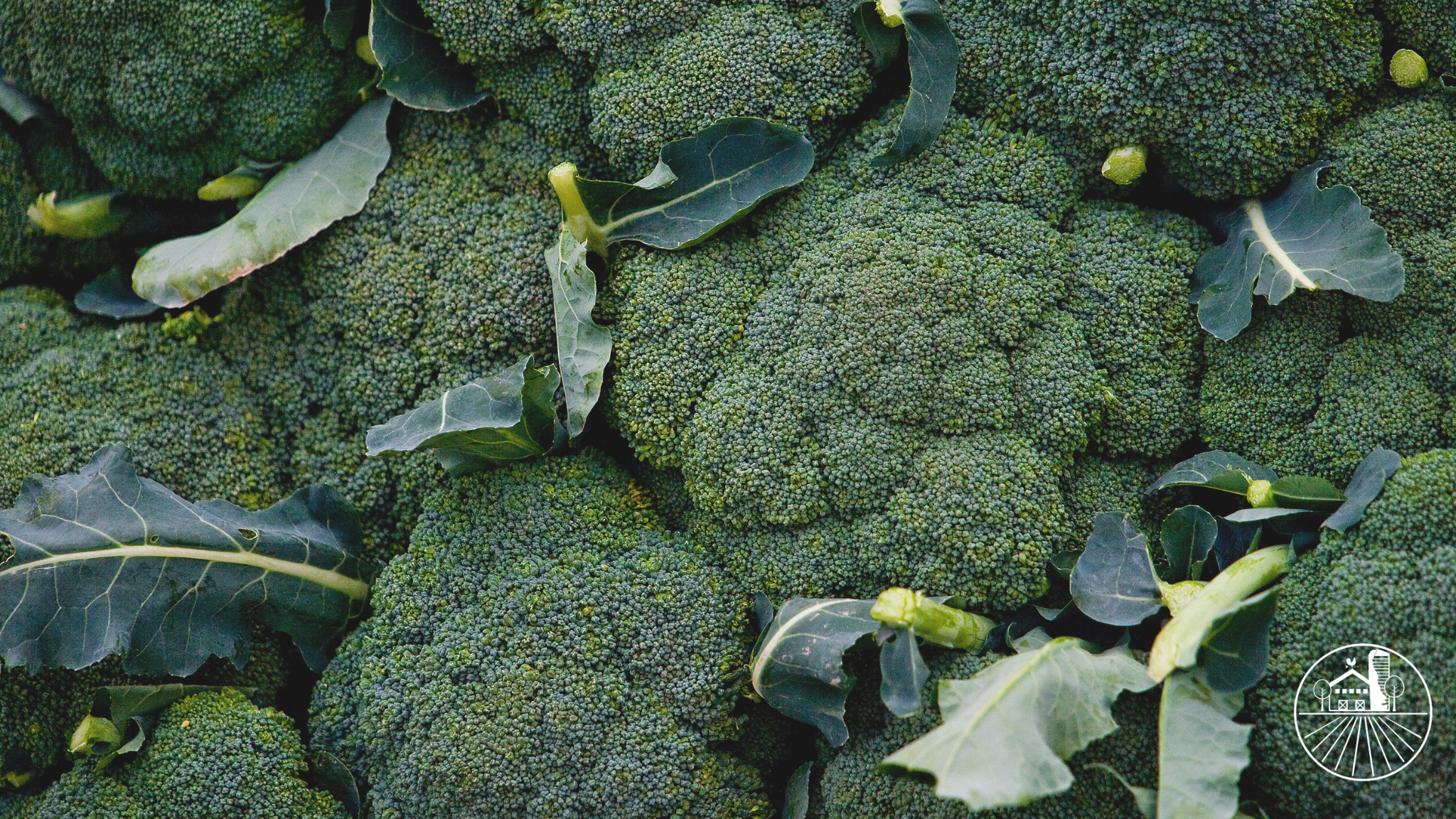 Green bunches of broccoli