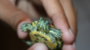 Up close photo of hand holding a red-eared slider turtle under 4 inches in length