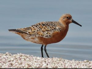 Red Knot. Photo Credit: Tom Benson