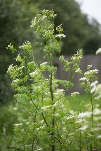 Wild Poison Hemlock plant with spotted stalk, poisonous and toxic weed