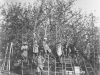 Apple picking ladders, W.L. Smith Orchard, Cheswold (1932)